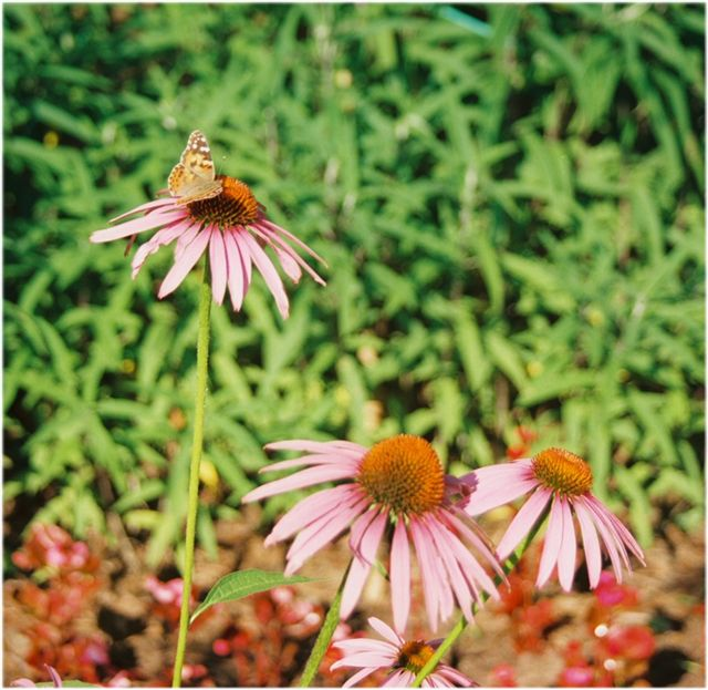 Butterfly Nectar at Garven Gardens, AR